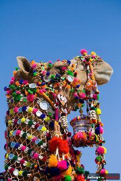 camel  camelo colorido