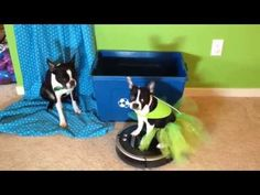 Dog Riding Roomba - Earth Day Costume - YouTube #puppy #dog #terrier #bostonterrier #roomba #irobot #dogsonroombas #roombadog #youtube #video #costume #earthday #recycle #environment #earth #tutu
