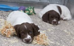 Being a puppy can be hard work. These two are members of Greater Manchester Police's latest litter of puppies. They are currently settling in to their new home at our dog training centre in Chorlton. The pups will soon begin the process of training to be operational police search dogs. www.gmp.police.uk