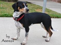 Little Izy was adopted 11-22-14. She's a lucky pup, for sure! Congratulations, Izy! :-)