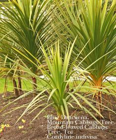 The species can be distinguished from all other Cordyline species by its very broad blue-grey leaves, and its smaller, tightly compacted inflorescence which is produced from beneath the foliage. Landscaping Melbourne, Pool Landscaping, Tree Identification, Seeds For Sale, Tree Seeds, Landscape Design, Path Design, Design Ideas, Grass Seed