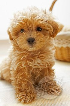 Little teddy bear pup.