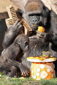 San Diego Zoo Safari Park Celebrates Gorilla's First Birthday
