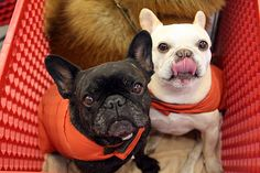 Martha's frenchies…these two started our love for frenchies!
