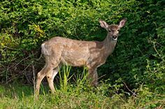 How to keep deer from eating your flowers, plants, and shrubs