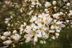 Blackthorn flowers Prunus spinosa  #plant #blackthorn #flowers #prunus #spinosa #photography