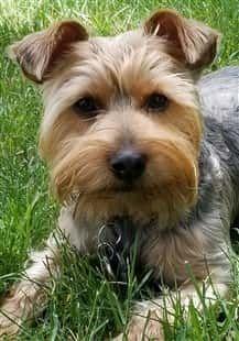Yorkshire Terrier Yorkshire Terrier Yorkie Terrier
