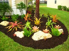 images florida landscaping | Multi Foxtail, Bromeliad gardening, Winkler landscape