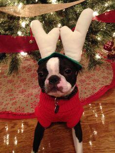 Christmas Boston Terrier #bostonterriercute