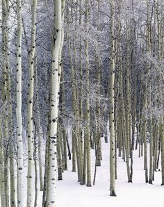 Keith Logan    Aspen Grove with Frost, Grand Valley Road, Alberta