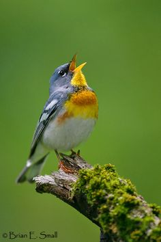 Northern Parula, Litchfield Co., CT by Brian E. Small Bird Photography