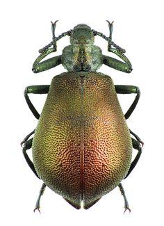 Metallonotus physopterus