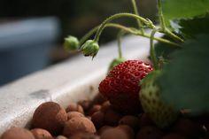 Digging into Aquaponics:  #1 -The Plants