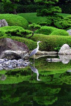 Grey heron In Fuluoka - beautiful, but this guy is the last thing you want in your koi pond; he'll make an expensive meal of you koi!