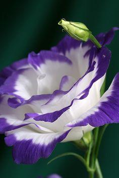 Lisianthus...a flor do meu buquê de casamento...♥
