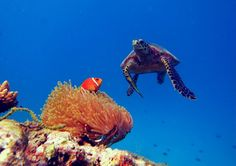 Maldives' sea life is unique and exciting! Every dive brings a new surprise. In this case with a hawksbill turtle. Book your next cruise with us and discover our amazing undewater life. www.cruise-maldives.com