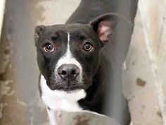 12/30/17 - ARIZONA - JAKE - #A3997527 - HIGH KILL SITUATION - PLEASE HELP HIM!●12•7•17 SL● ■ARIZONA■ ☆URGENT☆JAKE - ID#A3997527 My name is JAKE. I am a neutered male, black and white American Pit Bull Terrier. The shelter staff think I am about 1 year old. 《I have been at the shelter since Oct 14, 2017.》 This information was refreshed 46 minutes ago and may not represent all of the animals at the Maricopa County Animal Care & Control - East Valley Animal Care Center. Mesa AZ