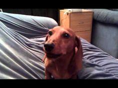 Funny Talking Wiener Dog