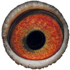 White Eyes, Pink Eyes, Pigeon Eyes, Pigeon Breeds, Pigeon Loft, Parts Of The Eye, Racing Pigeons, The Retina, Albinism