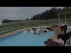 """National Dog Day founder Colleen Paige says she started a day for dogs """"for their endearing patience, unquestioning loyalty, for their work protecting our streets, homes and families as Police K-9's, Military Working Dogs, Guide Dogs and Therapy Dogs."""" So without further ado, here's a shameless roundup of adorable dog videos, starting with a pool party! National Dog Day,National Dog Day august,National Dog Day,National Dog Day wiki,National,Dog Day"""