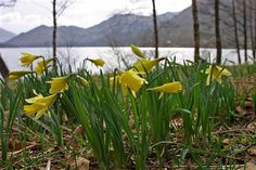Go in search of the Spring daffodils on the shore line around Ullswater - which inspired Wordsworth to write his famous poem.