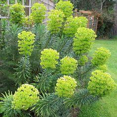 Euphorbia characias & - Euphorbe des Vallons Lawn And Garden Gravel Garden, Lawn And Garden, Border Plants, Greenhouse Gardening, White Gardens, Landscaping Plants, Back Gardens, Outdoor Plants, Spring Garden