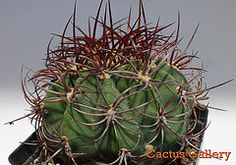 denmoza rodacantha Cactus Gallery