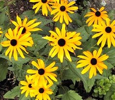 How to Grow Black Eyed Susans - Urban Farmer's Guide, also other How to articles
