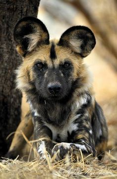 wild dogs of africa - AOL Image Search results African Hunting Dog, African Wild Dog, Hunting Dogs, Africa Drawing, South Africa Wildlife, Animals Beautiful, Cute Animals, Hunting Painting, Golden Retriever