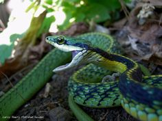 Pacific Coast Parrot Snake - Pixdaus