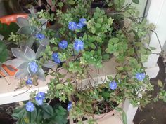 mimos azuis