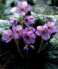 A Ramonda serbica é bela espécie perene endêmica da Península Balcânica pertencente a família botânicaGesneriaceae, encontrada somente ...