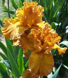 Tall Bearded Iris, Golden Panther