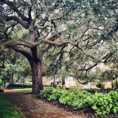 Columbia Square in Savannah boasts some beautiful trees!