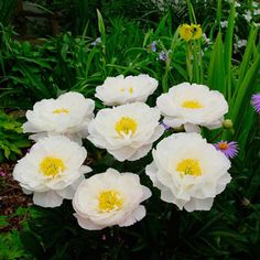 Miss America Fragrant Peony  Product Information:  Light: Full sun to partial shade  Height: 4'  Deer Resistant  Bloom Time: Late spring to early summer  Size: Bareroot  Zones: 3 to 9