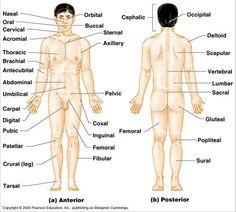 anatomical diagram of the buttocks language of anatomy school rh pinterest com diagram of the anatomy of the foot diagram of the anatomy of the body
