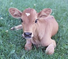 Baby Jersey cow!! :D CUTE!!