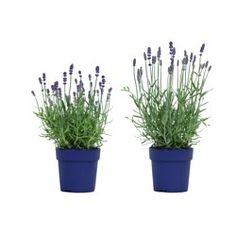 Krukor, växter & piedestaler - Torkade blommor & potpurri - IKEA