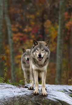 Double Trouble -Timber Wolf by Jim Cumming