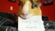 A little bit of love from a guinea pig on a Friday morning. Just because...☺☺☺  The Best Guinea Pig Food Delivered Fresh to your door!  Click  ❤ http://shop.smallpetselect.com/ ❤   FbookFriends: Use code ✔softNgreen✔ For Free Shipping  via http://www.pinterest.com/pin/124341639683778313/