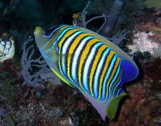 Author Nhobgood Nick Hobgood  Regal angelfish found on the North coast of East Timor.  http://creativecommons.org/licenses/by-sa/3.0/deed.en