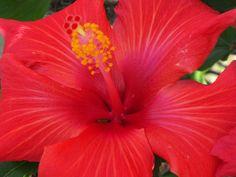 Chinese Hibiscus 'Brilliant' in full bloom
