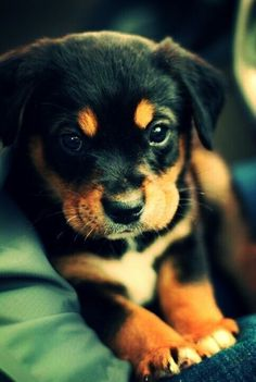 Rottie puppy ready to pounce