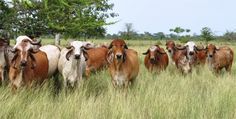 Científicos descubren la existencia de oro en la orina de vaca gyr