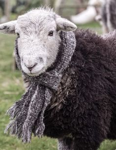 Hamish looking especially smart in his wooly muffler! Photo @RobinGoodladNLP
