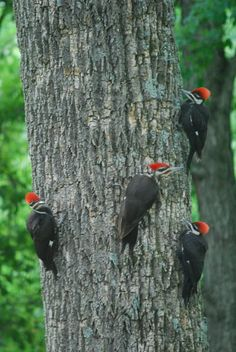 Pileated Woodpeckers by Jeremy Lemmons