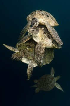 A stack of suitors - Marcel Gubern - Wildlife Photographer of the Year 2011 : Behaviour: All Other Animals - Highly commended Beautiful Creatures, Animals Beautiful, Cute Animals, Fauna Marina, Tortoise Turtle, Life Under The Sea, Blue Morpho, Turtle Love, Water Life