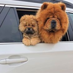 If you`re looking for a companion dog, Chow Chow is the best choice for you. Cute Little Animals, Cute Funny Animals, Cute Cats, Cute Little Dogs, Small Puppies, Cute Dogs And Puppies, Doggies, Cute Fluffy Dogs, Fluffy Animals