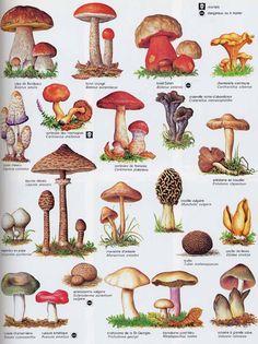 leit að lífi / search for life : Photo: Edible Mushrooms, Wild Mushrooms, Stuffed Mushrooms, Botanical Drawings, Botanical Illustration, Botanical Prints, Mushroom Art, Mushroom Fungi, Mushroom Guide