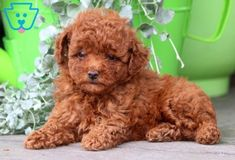 Teacup Poodles For Sale, Toy Poodles For Sale, Poodle Puppies For Sale, Lab Puppies, Small Puppies For Sale, Small Poodle, Tea Cup Poodle, Poodle Grooming, Dog Grooming Business